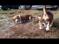 Cute Chocolate Beagles On YouTube https://pagez.com/3532/33-facts-about-dogs