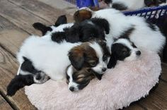 A pile of papillon puppies, mine will look like this in a couple weeks.