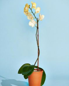 Orchids are no harder to care for than most houseplants, once you understand their quirks. Indoor Orchid Care, Orchid Plant Care, Phalaenopsis Orchid Care, Indoor Orchids, Orchid Plants, Potted Plants, Container Gardening Vegetables, Succulents In Containers, Container Flowers