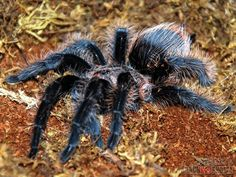 This is what my tarantula looked like...it was nice :)