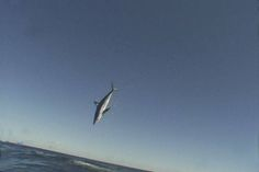 Mako sharks are being fished much more than we realized.