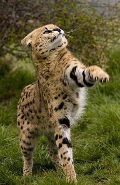 """""""A Serval ~ Taking A Swipe."""" (Photo By: Mike Seamons © ) A Serval is an African Wild Cat. Small Wild Cats, Big Cats, Cats And Kittens, Cute Cats, Cute Baby Animals, Animals And Pets, Funny Animals, Wild Animals, Beautiful Cats"""