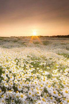 expressions-of-nature: The Daisy Field by: Anita Nicholson. My favourite flowers. Wild Flowers, Beautiful Flowers, Field Of Flowers, Daisy Flowers, Cactus Flower, Flowers Garden, Exotic Flowers, Fresh Flowers, Purple Flowers
