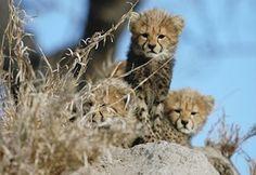 Cheetah cubs in Kruger National Park, so cute! Planning Board, Trip Planning, Kruger National Park Safari, Cheetah Cubs, Kwazulu Natal, African Countries, African Animals, Big Cats, Baby Animals