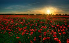 The red poppy, a symbol of sleep, death, and peace. Field of Red Flowers, credit: Xploited (not sure). Flanders Field?