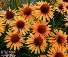 "New in 2013 from Terra Nova Nurseries.  Echinacea 'Big Kahuna' - Big, informal, honey-mango colored flowers in huge numbers sit above the foliage of this must have Echinacea. The sweet scent of the flowers goes right along with its Hawaiian name. 'Big Kahuna' will be the ""boss"" of your garden border. Sturdy, upright habit, strong stems and unique color adds up to a tropical treat."