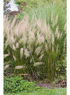 Calamagrostis brachytricha. Deciduous. Green foliage. Purple flowers fade to buff. Height 120 cm. Clump-forming. Frost-hardy. Shade tolerant. Plant 1-3 per sq metre.