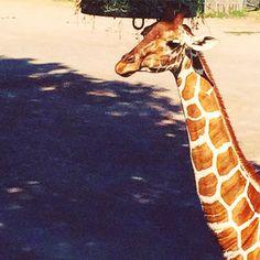 Quel portamento elegante... quell'andatura calma e flessuosa... quegli occhioni dolci  la #giraffa ! . . . #gita al #bioparcoroma  #bioparque #bioparco #bioparc #zoo #zooanimal #roma #igersroma #igersitalia #igerslazio #igers #ig_rome #ig_roma #ig_lazio #ig_italia #ig_italy #ig_europe #comeandsee #bestvacations #ohyesitaly #giraffe #giraffeselfie #giraffes #giraffeneck #giraffesofinstagram