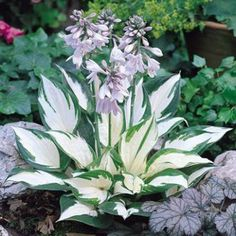 Top 5 Plants for Shade......Caladium, Coleus, Elephant Ear, Hostas, and Ferns.