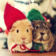 guinea pigs with hats