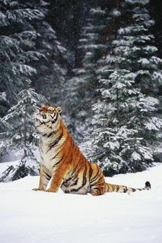 Tiger in the snow..Gorgeous!
