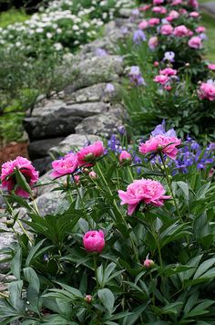 "peony and iris border - ""Neighbors down the street have an old stone wall out by the road. A border of pink peonies and various shades of purple and lilac irises grow in front of it. What a glorious sight it is each year."" Wish I lived on this street... sigh"