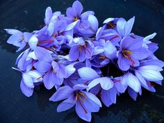 A group of saffron flower heads