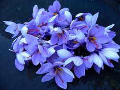 A group of saffron flower heads