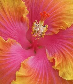 ~~ Sweet Hibiscus ~~ annuals in our climate, blossom last only one day but new ones come daily so it is a color spot Tropical Flowers, Hibiscus Flowers, Hibiscus Garden, Hibiscus Tea, Hawaiian Flowers, Amazing Flowers, Beautiful Flowers, Beautiful Smile, Arte Floral