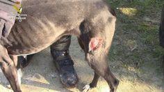 La Guardia Civil rescata a 50 animales en estado de abandono y hacinados en Chiclana