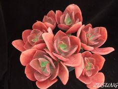 Echeveria 'Ruby Lips'. Love the color!