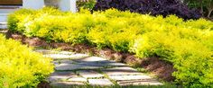 Sunshine Ligustrum hedge plant