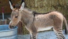 Zonkey -- Rare Zebra Donkey Hybrid Born In Italy (VIDEO) | PlanetSave