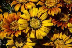 Gazania 'Sunset Jane' (Graeme Scott / Dunedin / New Zealand) #Canon EOS 60D #macro #photo #insect #nature