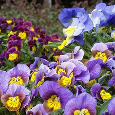 Best Winter Flowers for Color - Sunset