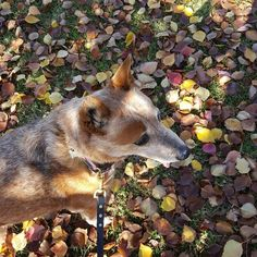 Lost Nellie in the leaves today! #dogwalks #wagga #wagga2650