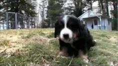 Would you jump at the chance to extend the life of your beloved dog? To discover how, go to http://lovedogs.from.media/go  Dogs 101 - Bernese Mountain Dog