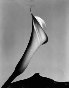 Calla with Leaf, about 1930 by Imogen Cunningham
