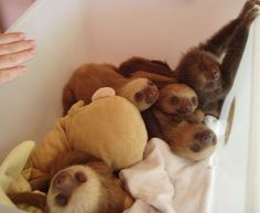 Fun fact of the day - A group of sloths is called a BED....It's an adorable Bed of Sloths!