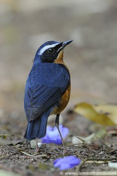 Indian Blue Robin, South Asia (Luscinia brunnea) breeds in forests along the Himalayas and Myanmar, winters in India and Sri Lanka Kinds Of Birds, All Birds, Love Birds, Exotic Birds, Colorful Birds, Pretty Birds, Beautiful Birds, Indian Blue, Tier Fotos