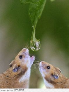 thirsty mice waiting--or are these hamsters? Nature Animals, Animals And Pets, Baby Animals, Funny Animals, Cute Animals, Desert Animals, Small Animals, Woodland Animals, Beautiful Creatures