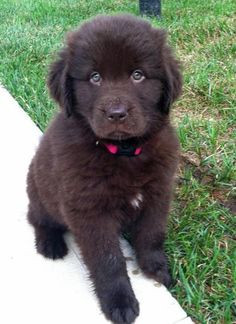 AWWWWWW! Look at those precious eyes! Makes my heart melt!!!! This is Bella Bear and she is a Newfoundland puppy :)
