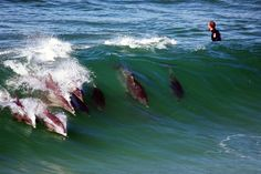 Dolphins in the waves behind a surfer. What a way to surf!