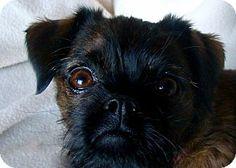 Lovables: Lemont, IL - Brussels Griffon. Meet ANGEL EYES in Lemont, IL. a Dog for Adoption w/ American Brussels Griffon Rescue Alliance Inc. - IL abgrauppermidwest@yahoo.com