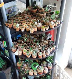 📷 : @viverocastillo #cactuscollection #succulentcollection #مجموعه_کاکتوس #مجموعه_ساکولنت #🌵 #cactus #succulent #succulents #nature #plant #plants #گیاه #cacti #cacto #kaktus #кактус #サボテン #仙人掌 #선인장 #kaktüs #cactos #Cactaceae #kakteen #کاکتوس #ساکولنت #cactuslover #cactusclub #cactusmagazine #cactuslove #cactuspremium