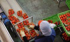 Los agricultores del sureste respiran ante el veto judicial de la UE al tomate marroquí