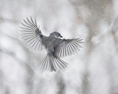 Bird photography The Art of Staying Aloft No. 7 Tufted Titmouse (Baeolophus bicolor) by Gloria Wilson of SmallMysteries, $22.00