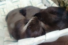 Otters cuddle up on their hammock - November 3, 2015
