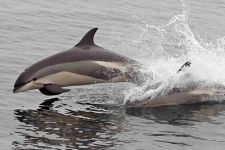 white-sided-dolphin-whale-watch-gloucetser, 7 Seas Whale Watch.  Rec. coming in Sept/Oct to see dolphins (or early spring)