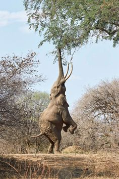Boswell the elephant stands on his back legs to reach for pods on an acacia tree in Zimbabwe's Mana Pools National Park // photo by Jonathan Greyson #zimbabwe #elephant #africa