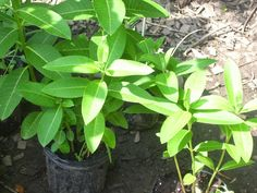 Raising Milkweed from Seed is Easier than You Think Butterfly Weed, Swamp, Poke Milkweed Don't be intimidate. Butterfly Weed, Butterflies, Milkweed Plant, Seeds, Gardening, Plants, Cottage, Future, Projects
