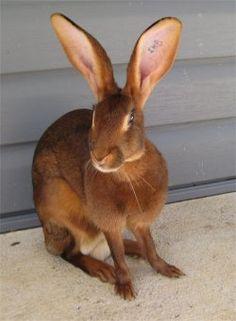belgian hare - Google Search
