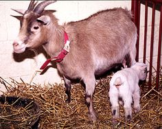 GOATS: TRUE CASES & STORIES - JOHNE'S INFORMATION CENTER  Kinder or minature goat herd badly affected by Johne's disease