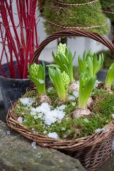 Hyacinth basket.....gorgeous!  Available at Shelmerdine Garden Center at 7800 Roblin Blvd in Headingley #winnipeg
