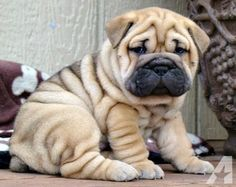 How to Decide on a Pet Sitter for Your English Bulldog Puppy Shar Pei Puppies, Pug Puppies, Pet Dogs, Dog Cat, Shar Pei Mix, Doggies, Blue French Bulldog Puppies, Bulldog Puppies For Sale, Teacup Bulldog