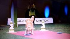 Cão arranca gargalhadas do público após 'trapalhada' em evento canino