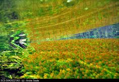Underwater vegetation, predominantly stonewort algae, Chara rusbyana, at Sucuri River, Bonito Freshwater Plants, Freshwater Aquarium, Biotope Aquarium, Nature Water, Aquascaping, Planted Aquarium, Aquariums, Stock Pictures, Water Features