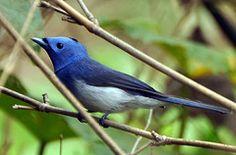black-naped blue monarch