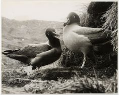 Light mantled sooty albatrosses at Macquarie Island, c. 1950s by State Library of New South Wales collection, via Flickr