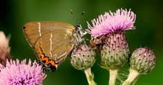 Endangered Butterfly Species